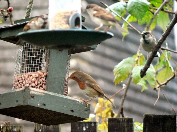 Robin on Bird Feeder